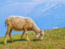 Sheep in Himalaya. Trimmed sheep grazing the grass in the Himalaya mountains stock image