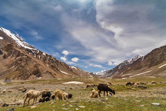 Sheep in Himalayan mountains. Sheep herding on mountain meadow in Ladakh royalty free stock photos
