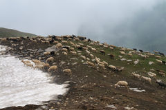 Sheep in the Himalayas Royalty Free Stock Image