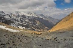 Sheep in Himalayas Royalty Free Stock Photos