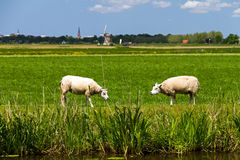 Sheep in Holland Royalty Free Stock Image