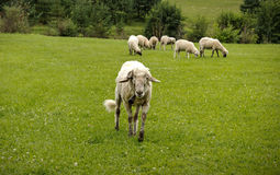 Sheep Horde Royalty Free Stock Photos