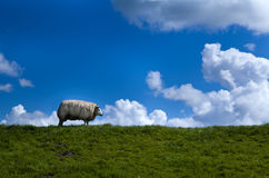 Sheep on horizon Stock Image