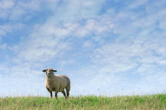 Sheep on horizon Royalty Free Stock Photo