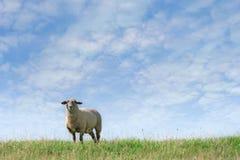 Sheep on horizon Royalty Free Stock Photo