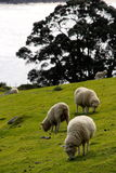 Sheep on the horizon Stock Images