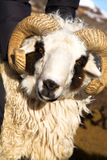 Sheep with horns Royalty Free Stock Image