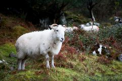 Sheep with horns Royalty Free Stock Photography