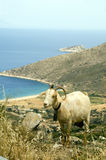Sheep with horns Ios Cyclades Agia Theodoti beach  Royalty Free Stock Images