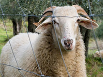 Sheep with horns behind wire fence. Stock Photo
