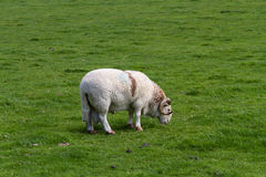 Sheep with horns, grazing Stock Images