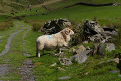 Sheep with horns, grazing by ruined dry stone wall. Sheep in green field and old stone wall Stock Image