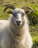 Sheep with Horns on Iceland Royalty Free Stock Photos