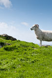 Sheep with horns in rural scene Royalty Free Stock Photo