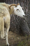 Sheep with horns standing next to white pine, New England. Stock Images