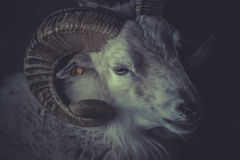 A sheep with horns Royalty Free Stock Photography