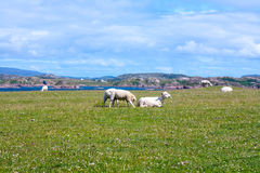 Sheep and horses in the fields of Iona in the Inner Hebrides, Scotland Sheep in the fields of Iona in the Inner Hebrides, Scotland Stock Photography