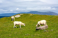 Sheep and horses in the fields of Iona in the Inner Hebrides, Scotland Sheep in the fields of Iona in the Inner Hebrides, Scotland Royalty Free Stock Image