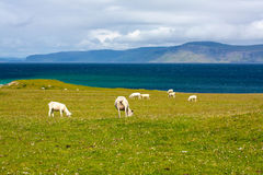 Sheep in the fields of Iona in the Inner Hebrides, Scotland. Iona is a small island in the Inner Hebrides off the Ross of Mull on the western coast of Scotland royalty free stock images