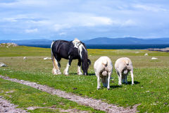 Sheep and horses in the fields of Iona in the Inner Hebrides, Scotland. Iona is a small island in the Inner Hebrides off the Ross of Mull on the western coast of stock photography
