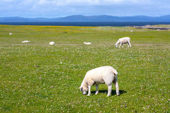 Sheep and horses in the fields of Iona in the Inner Hebrides, Scotland Stock Images