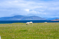 Sheep and horses in the fields of Iona in the Inner Hebrides, Scotland. Iona is a small island in the Inner Hebrides off the Ross of Mull on the western coast of royalty free stock image