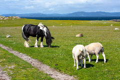 Sheep and horses in the fields of Iona in the Inner Hebrides, Scotland. Iona is a small island in the Inner Hebrides off the Ross of Mull on the western coast of royalty free stock images