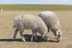 Sheep on the Hulun Buir Grassland Stock Image