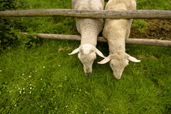 Sheep are hungry. Detai two sheep stretching across the corral fence on green grass with neighbors Stock Photography