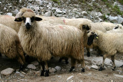 Sheep hurd Stock Images