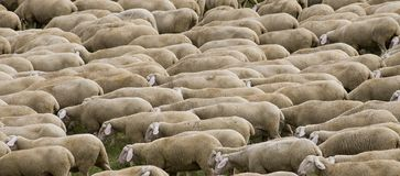 Sheep hurd stock photo