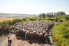 Sheep Hurd Royalty Free Stock Image