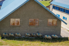 Sheep in hut's shade Royalty Free Stock Photo