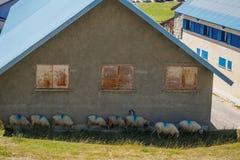 Sheep in hut's shade Royalty Free Stock Photo