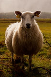 Dolly the Sheep. That sheep i simply met while i was walking about a plateau in central Norway. It was high in the mountains called Lomsætra where i saw her royalty free stock photography