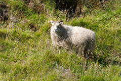 Sheep in Iceland. Sheep in the wild in Iceland Royalty Free Stock Photo