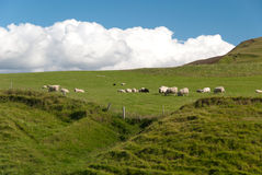 Sheep in Iceland Royalty Free Stock Images