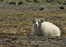 Sheep at Iceland. Sheep  at the southern coast of Iceland Royalty Free Stock Photography