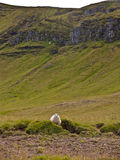 Sheep and Iceland landscape Royalty Free Stock Photo