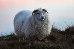Sheep in Iceland Stock Image