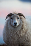 Sheep in Iceland. Posing at sunset Stock Photography