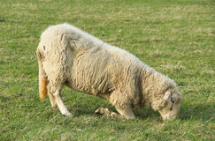 Sheep with ill hooves Stock Images