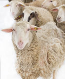 Sheep illness Stock Image