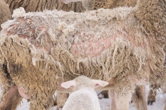 Sheep illness Stock Photos