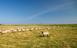 Free Sheep In A Row Royalty Free Stock Photos - 6650268