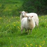 Sheep In Dandelion Field Stock Photo