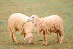 Free Sheep In Farm Stock Images - 15791954