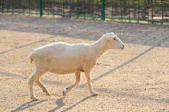 Sheep In Green Meadow Stock Image
