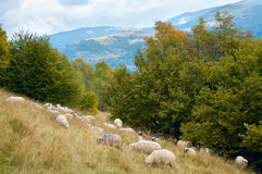 Sheep In Mountain Royalty Free Stock Images