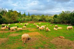 Free Sheep In Pasture Royalty Free Stock Photo - 11188145